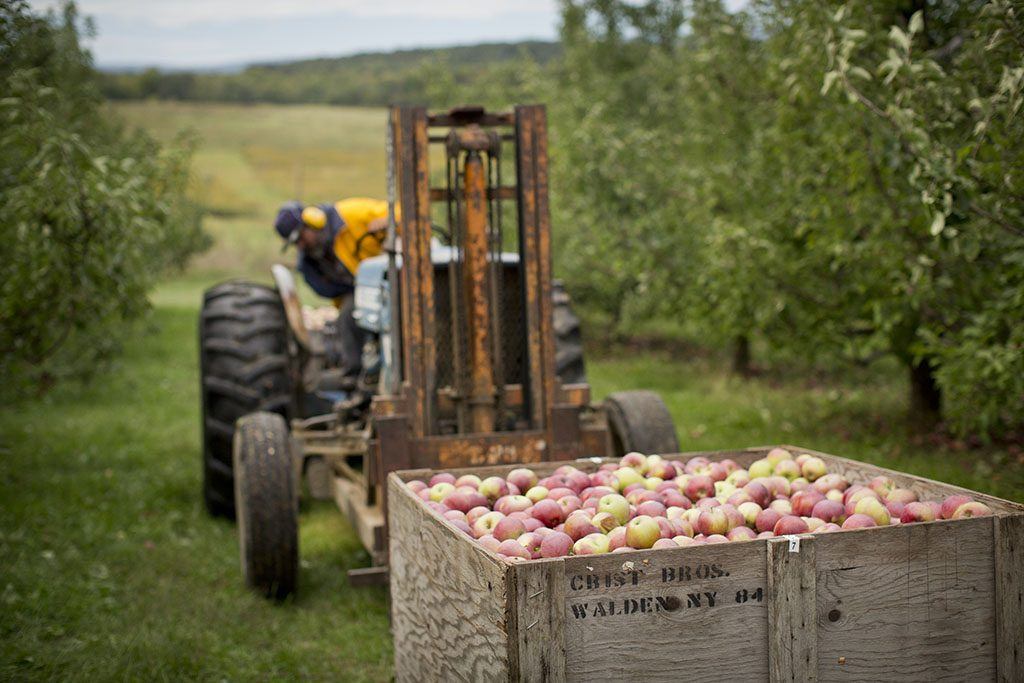 The apple orchard in Walder, New York