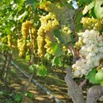 Everything is Coming Up Vermentino in Sardegna